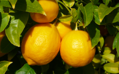 Lemons harvested from orchards are amongst secret ingredients for healthy immunities.