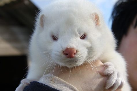 Mink are particularly susceptible to severe side effects caused by COVID-19.